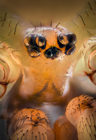 daddy long legs: Extreme magnification - Pholcidae, Pholcoidea (Daddy Long Legs)