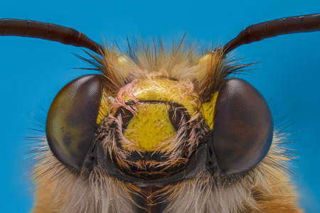 Extreme magnification - Honey Bee, front view