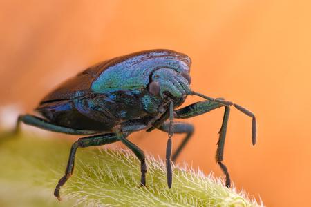 Extreme magnification - Blue shieldbug, Zicrona Caerulea