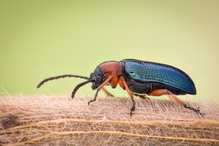Extreme magnification - Blue metallic bug, Meloidae