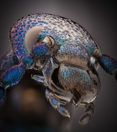 Extreme magnification - Blue metallic bug, Meloe proscarabaeus Stock Photo