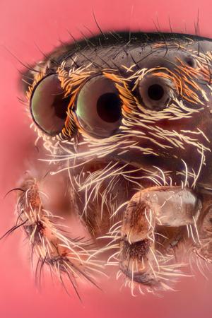 Extreme magnification - Jumping spider portrait, side view Reklamní fotografie