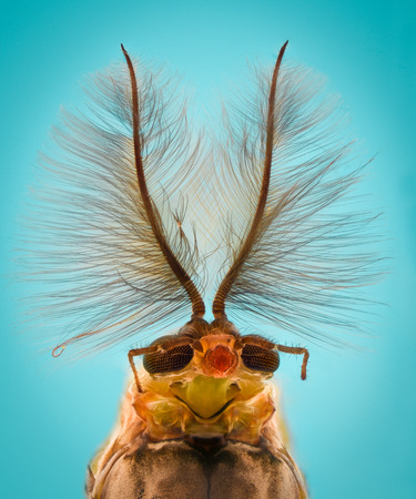 Extreme magnification - Mosquito head, Chironomus, front view
