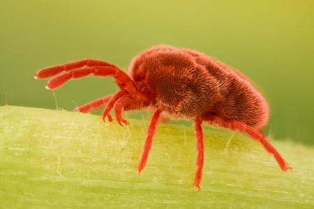 極端な倍率 - レッド ベルベット ダニ、Trombidiidae