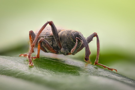 Extreme magnification - Weevil on a leaf, side view Stock Photo