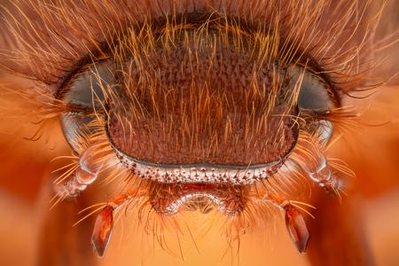 Extreme magnification - Amphimallon caucasicum beetle