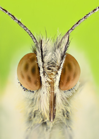 Extreme magnification - Anthocharis cardamine butterfly
