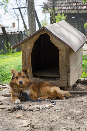 Junger Wachpostenhund sitzt auf einer Kette nahe seinem Hundehaus Standard-Bild
