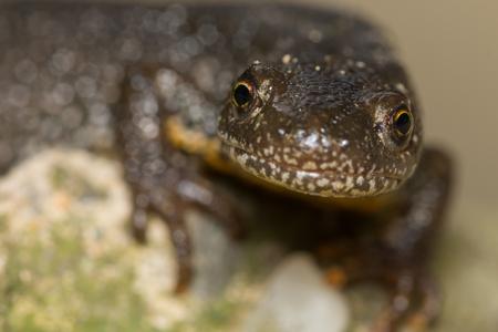 black textured background: Triturus Dobrogicus,The Danube crested newt