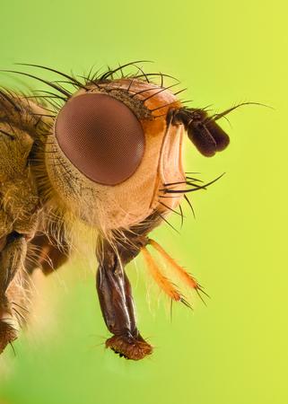 Skrajne powiększenie - mucha owocowa