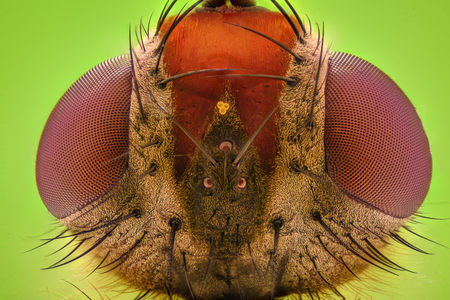 magnification: Extreme magnification - Fruit fly