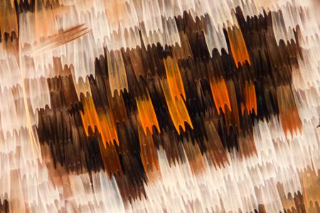 極端な倍率 - 顕微鏡下で蝶の翅