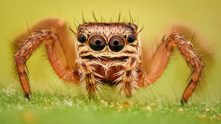 magnification: Extreme magnification - Jumping spider