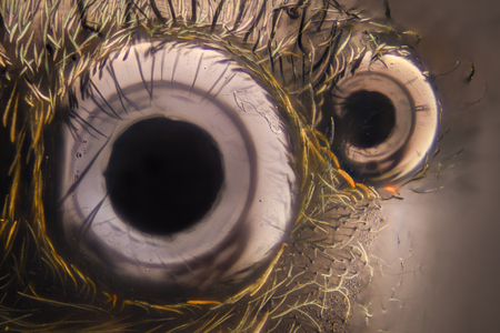 hairy legs: Extreme magnification - Jumping spider eyes at 20x Stock Photo