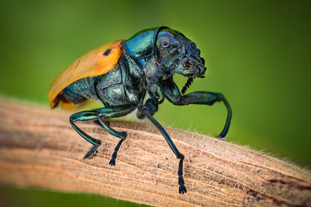 magnification: Extreme magnification - Jewel Beetle