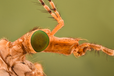 profile: Extreme magnification - Crane fly head Stock Photo
