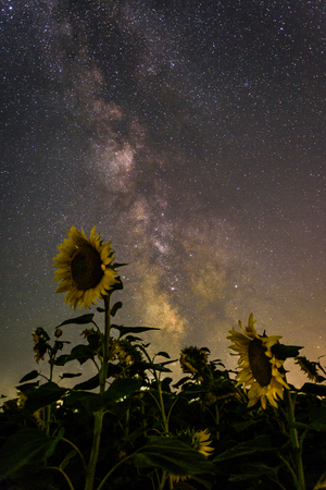 Milky Way over the sunflower field