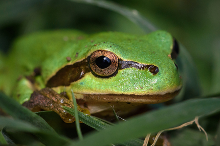 Green European tree frog, Hyla orientalis