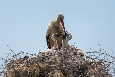 White stork feeding her family Reklamní fotografie
