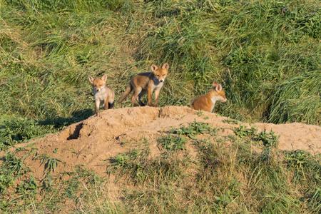 European Red Fox babies near their nest in the wild