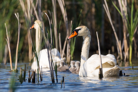 Swans with nestlings in the wild