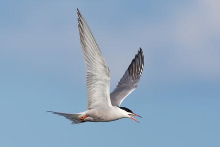 Seagull in flight, tern