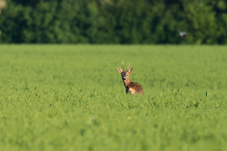 A young deer stag on a field