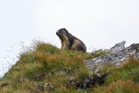 A marmot in the Carpathian mountains Stock Photo