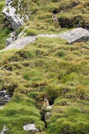 A marmot in the Carpathian mountains Reklamní fotografie