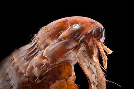 Ampliación extrema: pulga a 20 aumentos Foto de archivo