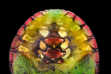 Extreme magnification - Green stink bug nymph (Nezara antennata)