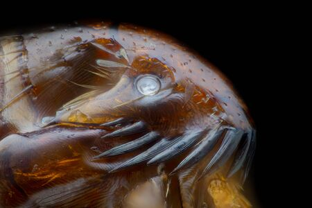 Extreme magnification - Flea at microscope, 50x magnification Stock Photo