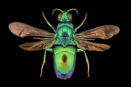 Extreme magnification - Cuckoo wasp