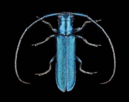 Extreme magnification - Agapanthia violacea
