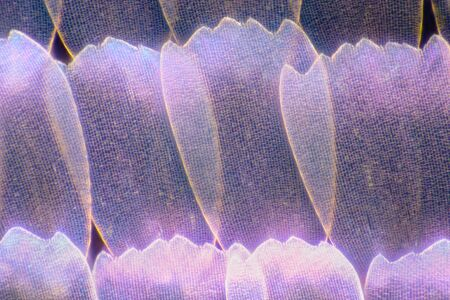 Extreme magnification - Butterfly wingm Blue morpho (morpho peleid) wing, 100: 1 magnification