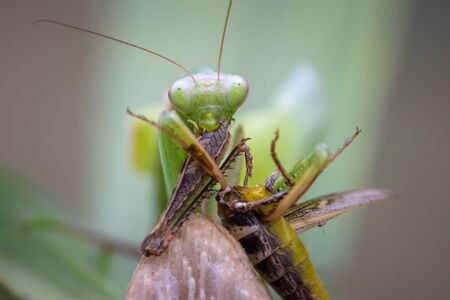 Praying mantis eating grasshopper - Mantis religiosa