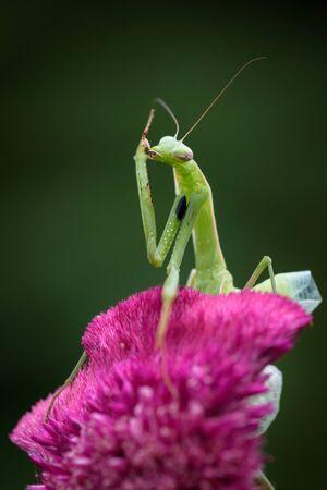 Praying mantis in the wild - Mantis religiosa