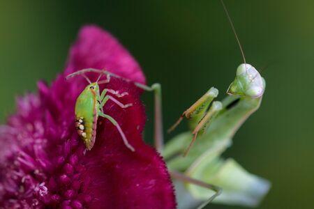 Praying mantis in the wild - Mantis religiosa Stock Photo