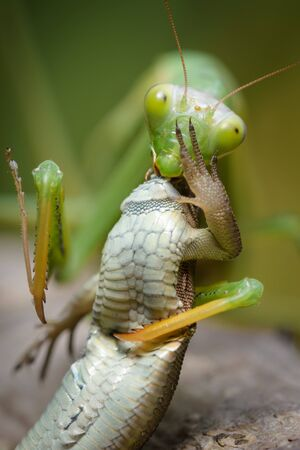 Praying mantis eating lizard - Mantis religiosa