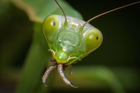 Praying mantis eating lizard - Mantis religiosa
