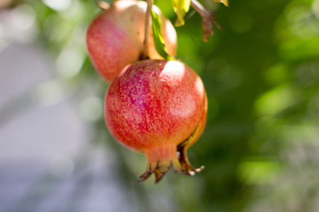 autumn colour: a pomegranate fruit hanging from a tree healthy living and eating Stock Photo