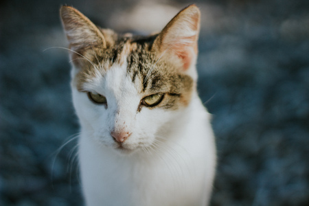cat looking at the camera portrait close up beautiful green eyes white cat looking angry