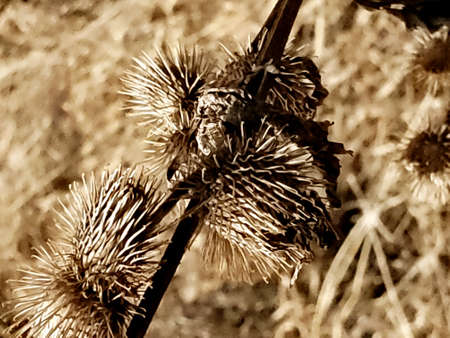 Dried burrs in Jefferson Marsh, WI Stock Photo