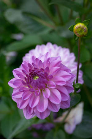 Violet flower of a dahlia with a bud on a background of green leaves Stock Photo