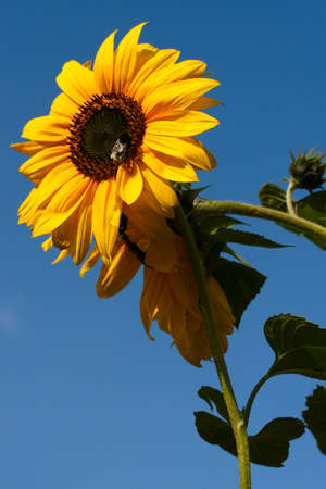 Sunflower with a bee collecting nectar on a background of the blue sky Stock Photo