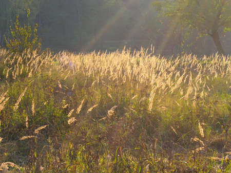 Dry grass in gold beams of the coming sun