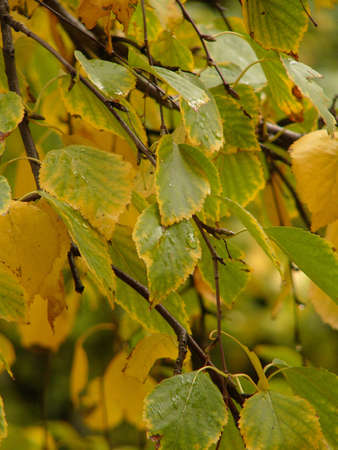 Yellow birch leaves with drops of a rain in cloudy day