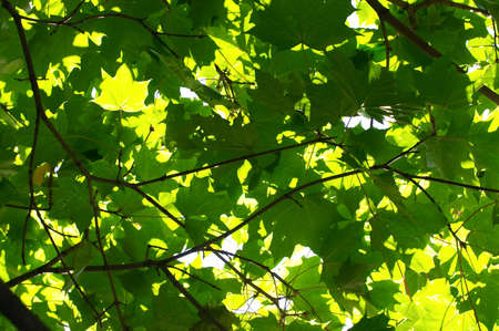 The sun appearing through through green maple leaves