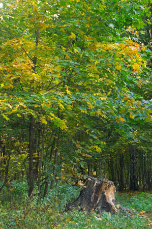 Young maples with yellow and green foliage a decrepit mouldering stub, in cloudy autumn day