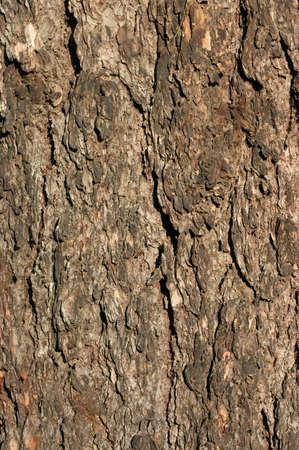 Bark of a tree of a larch in a sunlight Stock Photo